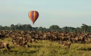 Wildebeest migration animal