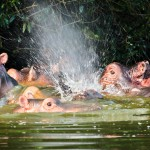 mburo-hippo