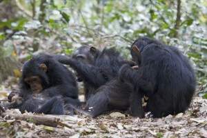 Eine Gruppe Schimpanse beim gegenseitigen Lausen, Gombe Stream National Park