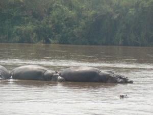hippos in Rusizi