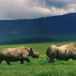 Black_rhinos_in_crater