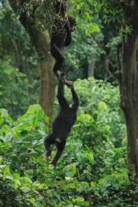 Chimpanzees climbing