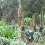 Giant lobelias in the Afro-alpine zone of the Rwenzori Mountains