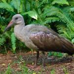 A Hadada Ibis frequents a garden