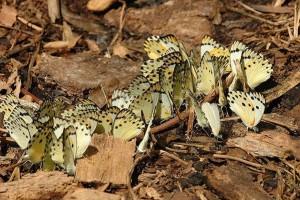 Mabira butterflies