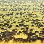 Serengeti-Wildebeest-Migration_image_4