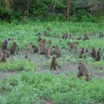 Troops of Baboons