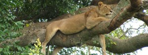 ishasha-tree-climbing-lion