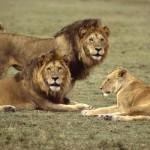 lions-tanzania-john-wolf