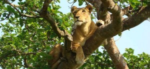 tree-climbing-lion-uganda-instinct-safaris