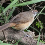African Moustached Warbler