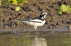 African-Pied-WagtailA-1024x664