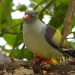 African_Green-Pigeon_(Treron_calvus)