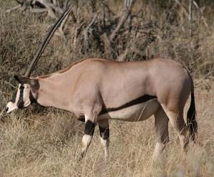 Beisa_Oryx,_Samburu_NR,_Kenya (1)