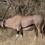 Beisa_Oryx,__Kenya