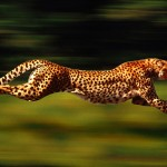 Cheetah beautiful dangerous animals