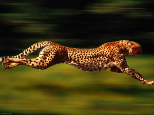 Cheetah beautiful dangerous animals