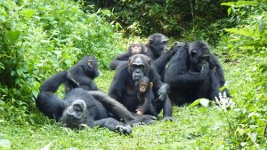 Chimpanzees 1