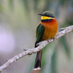 Cinnamon chested bee eater