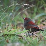 Dusky_Crimsonwing