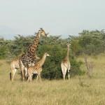 Giraffe L. Mburo