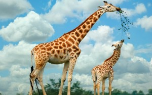 Giraffe-National-Animal-Of-Tanzania