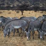 Grevy's_zebra