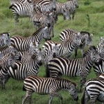 Kenya-Migrationzebra's