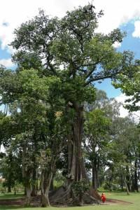 Nakayima tree