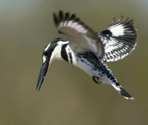 Pied kingfisher 1