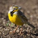 Yellow-throated_longclaw