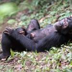 chimp lying down