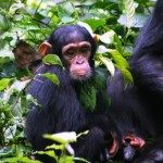 chimpkibale