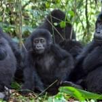 gorillas-nkuringo-family