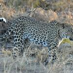leopard-in-samburu-kenya