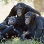 chimpanzee-charis