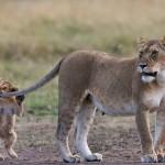 Lioness in Mara