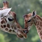 giraffe-extinct