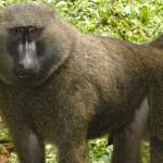 An.Baboon