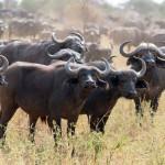 buffalo3579