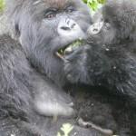 gorilla in Virunga