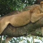 ishasha-tree-climbing-lion
