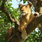 tree-climbing-lion-uganda-instinct-safaris