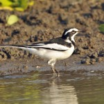 African-Pied-WagtailA-1024×664