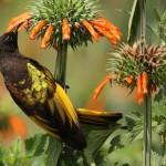 Bronzy sun bird