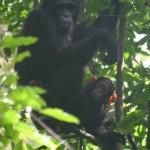 Chimp & babay chimp