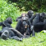 Chimpanzees 1
