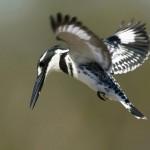 Pied kingfisher 1