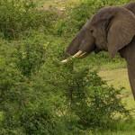 elephants-queen-elizabeth