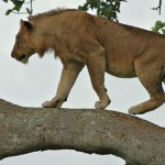 tree-climbing-lions-uganda-tour